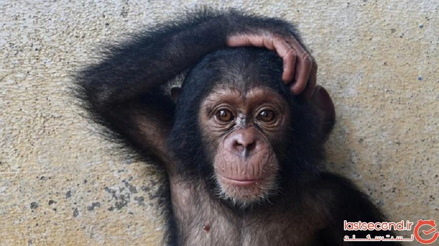 دیدار با زوجی که 34 شامپانزهی یتیم را پرورش میدهند