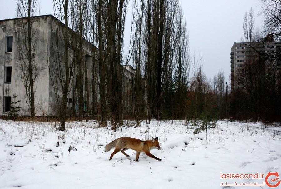 شهر چرنوبیل به محل بی نظیری برای حیات وحش تبدیل شده است