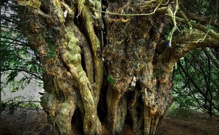 قدیمی ترین درخت بریتانیا، با تهدید جدی از سوی گردشگران مواجه است