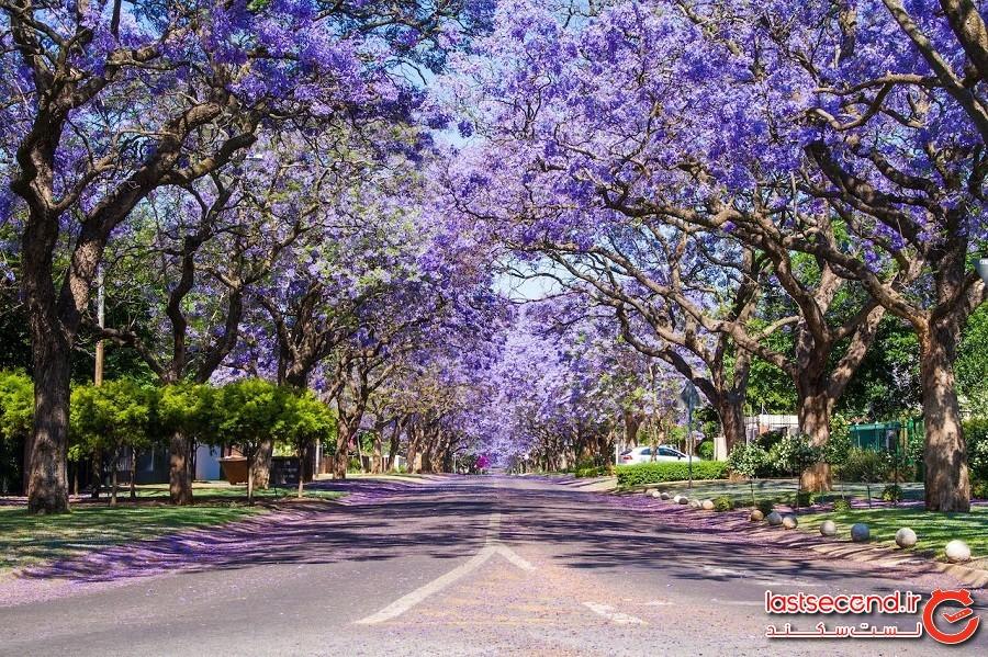 خیابانهای حومهای با ردیفهایی از درختان جوالدوز – شهر پریتوریا کشور آفریقای جنوبی