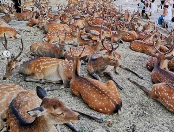 گردهمایی 600 گوزن وحشی در شهر نارای ژاپن!