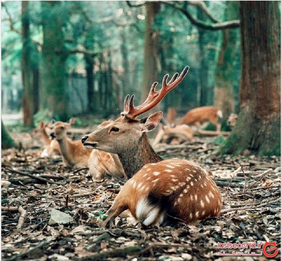بیش از 600 گوزن وحشی روزانه در پارکی در ژاپن دورهم جمع شوند