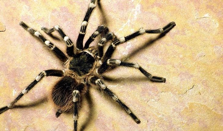 کشف 88 عنکبوت از گونه تارانتولا در فرودگاه گویانِ فرانسه!