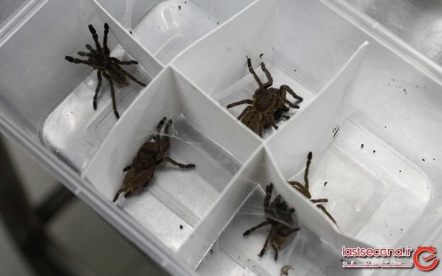 کشف 88 عنکبوت از گونه تارانتولا (tarantulas) در فرودگاه گویانِ فرانسه