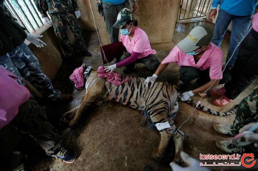 نیمی از ببرهایی که از معبد بدنام ببر در تایلند نجاتیافته بودند، مردهاند