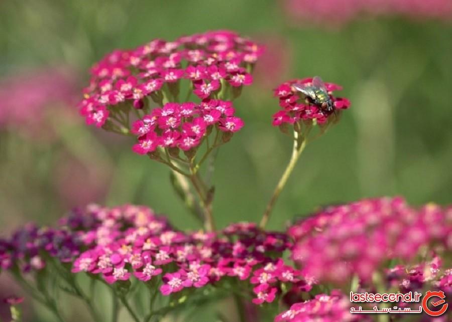پل گل ها، تنوعی از گل های ابروسیا تا رزهای مختلف