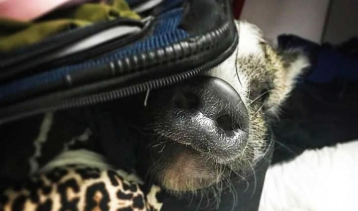 آیا حیوانات کمک احساسی باید اجازه ورود به هواپیما را داشته باشند؟