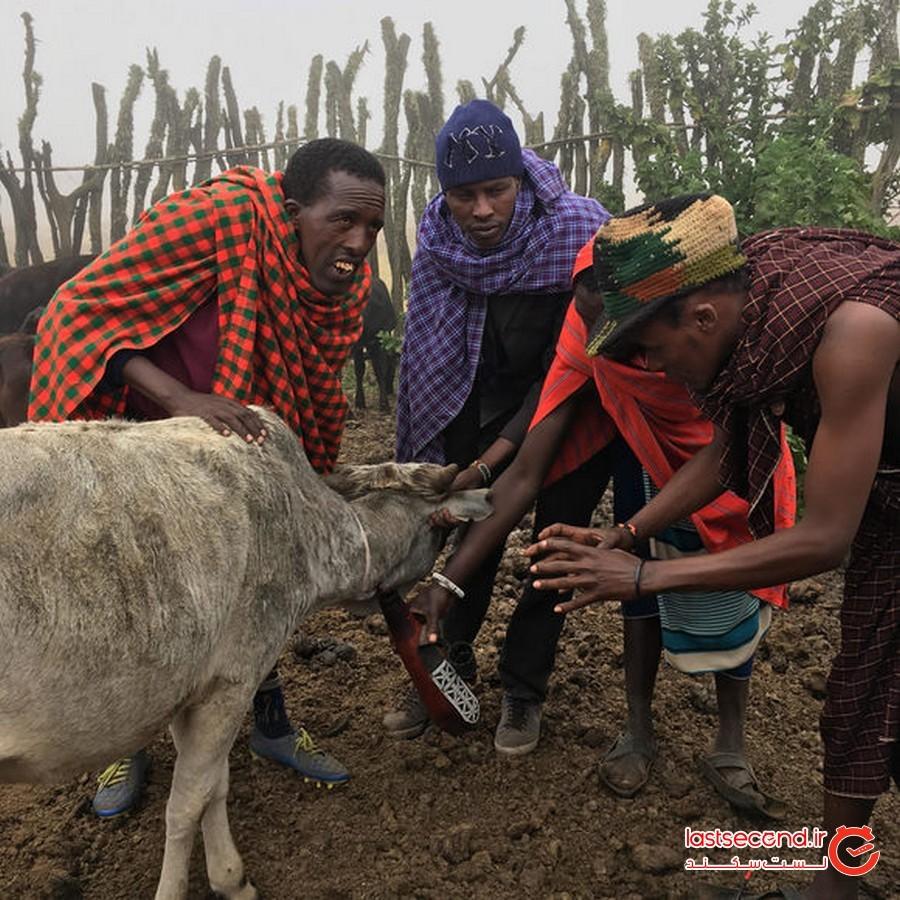 نوشیدن خون از حیوان زنده در قبیله ماسای، آفریقا
