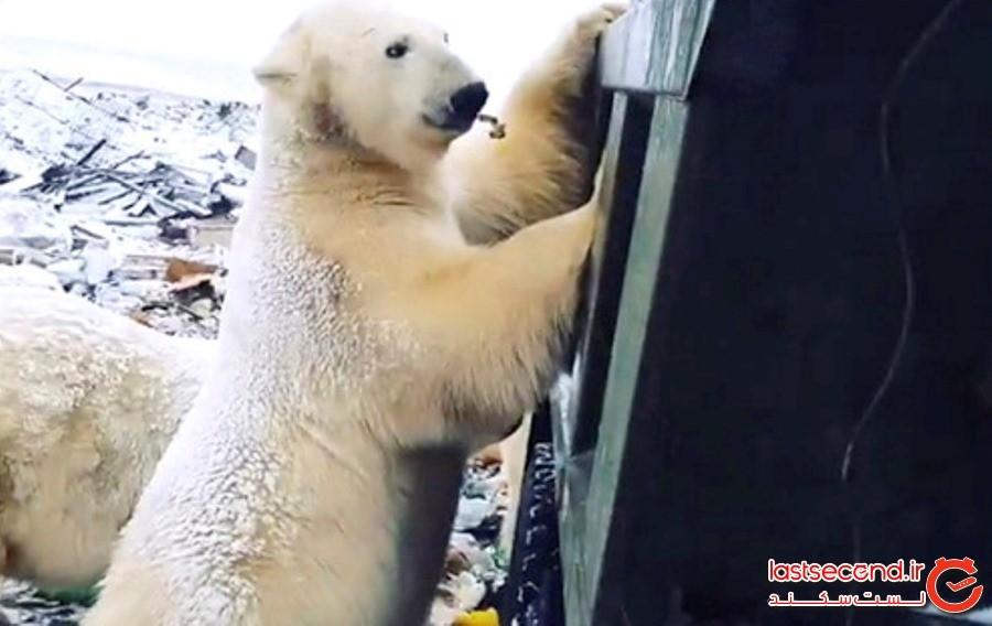 خرسهای قطبی مجدداً به یکی از شهرهای روسیه حمله کردهاند