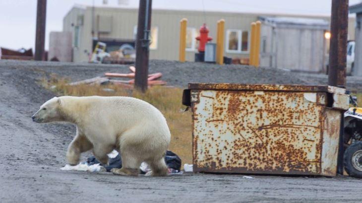 خرسهای قطبی دوباره به یکی از شهرهای روسیه حمله کردند!