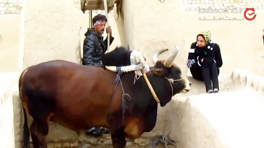 گاوچاه ورزنه و گاوی که با آواز صاحبش آب از چاه می کشد