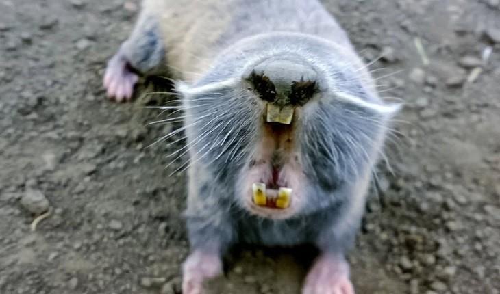 موش غول پیکر متعلق به دوران پیش از تاریخ در برزیل کشف شد!