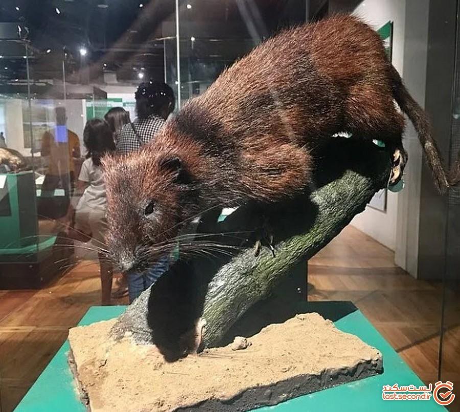 موشی بسیار بزرگ متعلق به دوران پیش از تاریخ در برزیل کشف شد
