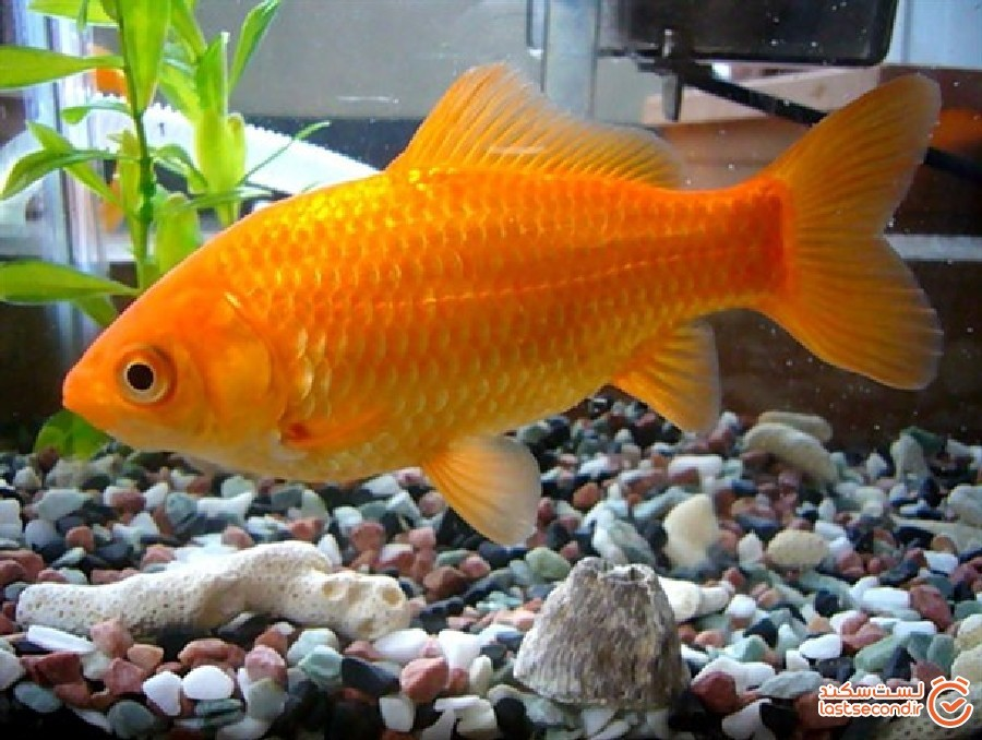 ماهی قرمز هفت سین عامل انتقال کروناست؟