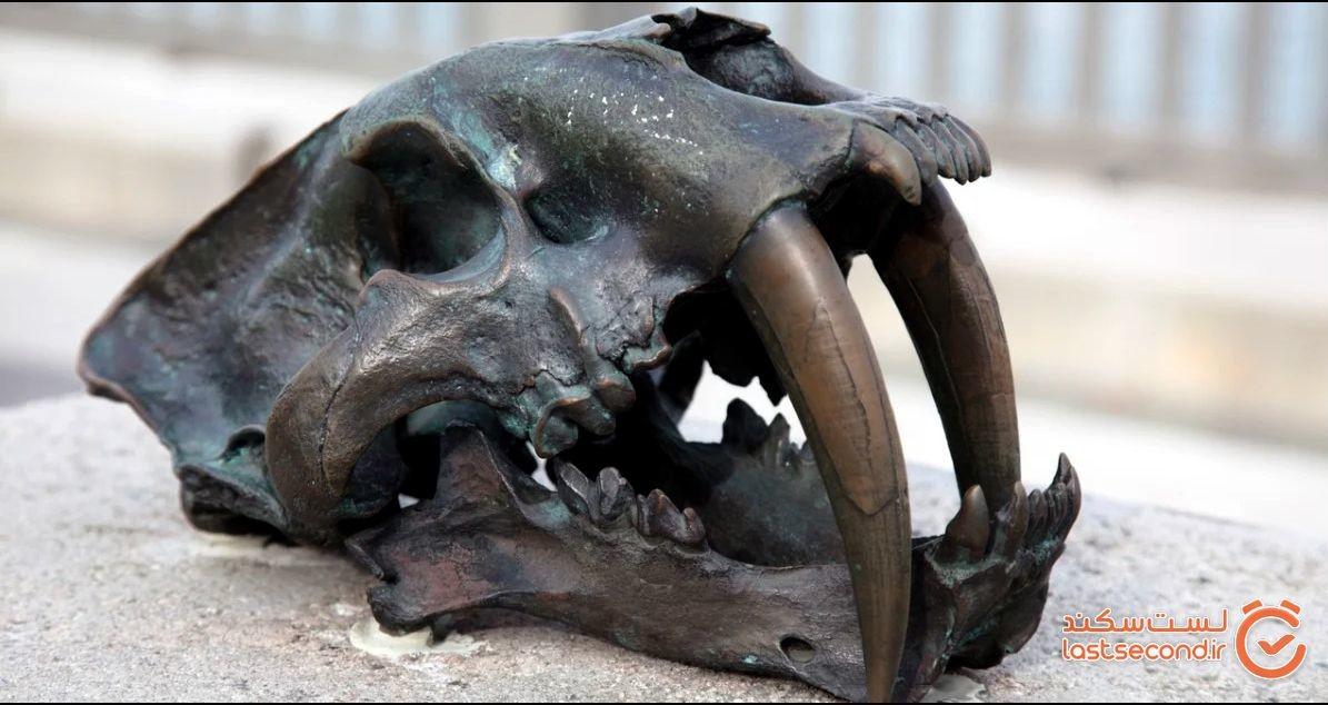 جمجمه ببر غول پیکر دندان شمشیری، نشان می دهد که واقعاً این گونه چقدر بزرگ بودند!