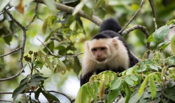 میمونها 30 میلیون سال پیش روی اقیانوس اطلس سفر می کردند!