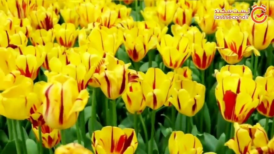 رنگین کمانی از 23000 لاله برای مادران