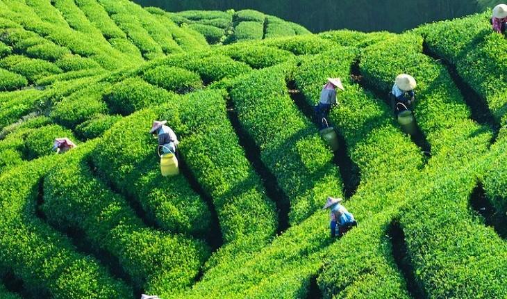 6  منطقه اصلی برداشت چای در آسیا که باید بشناسیدشان!
