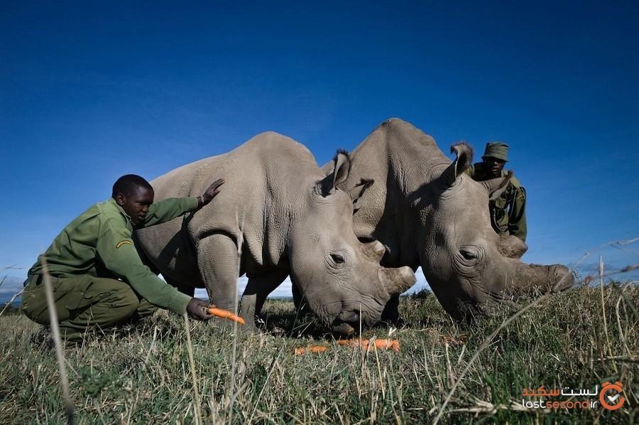 شیوع بیماری کرونا بروی حیاتوحش آفریقا نیز تأثیر خواهد گذاشت مگر آنکه همین حالا کاری کنیم