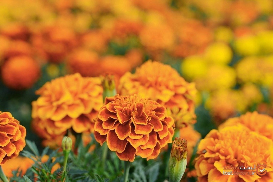 گل همیشهبهار