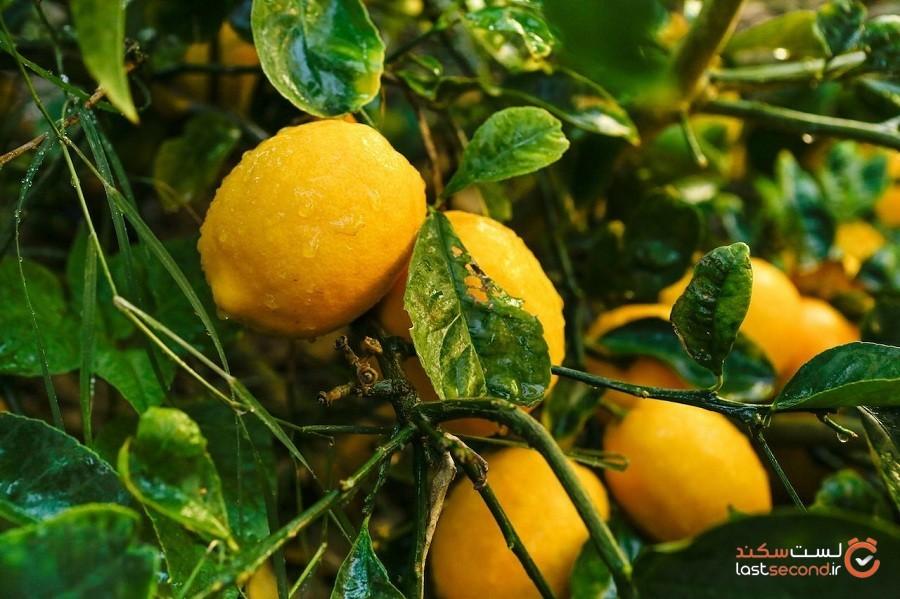 لیموی میر