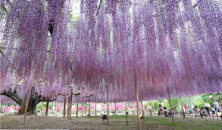 درخت 150 ساله ویستریا زیباترین درخت جهان
