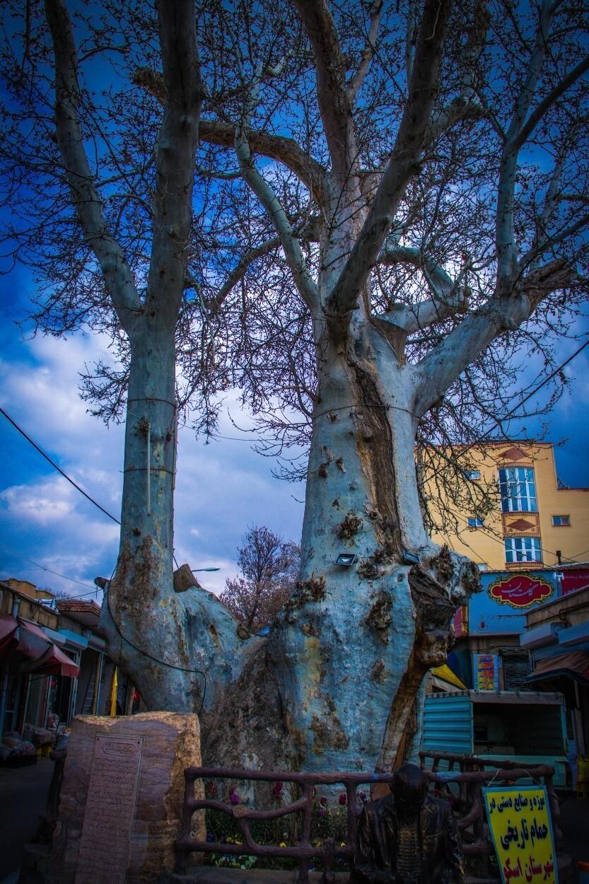 درخت چنار اسکو