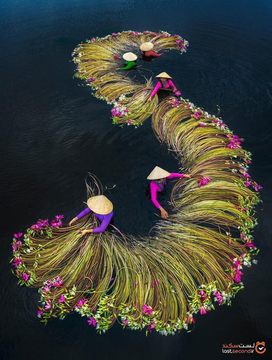 عکسهای جالب و جذاب کشاورزان در حال برداشت نیلوفر آبی از دلتای مکونگ