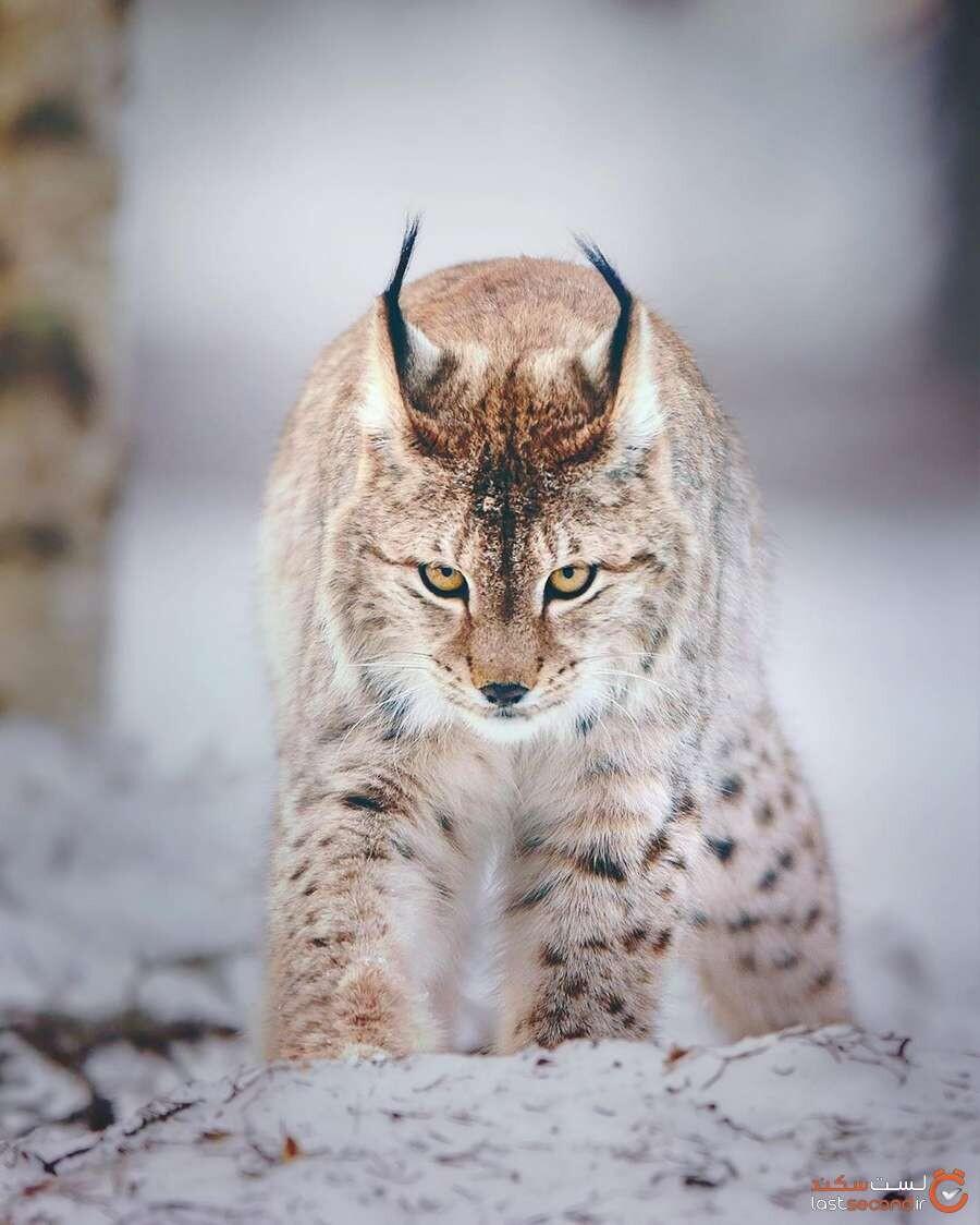 Eurasian-lynx.jpg