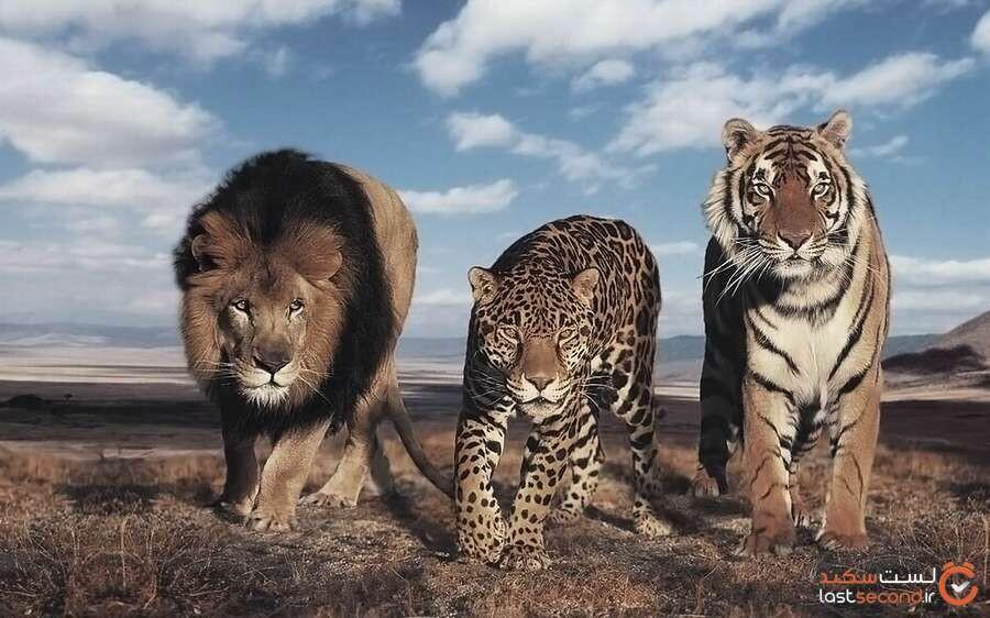 با بزرگ ترین و خطرناک ترین گربه سانان جهان آشنا شوید!