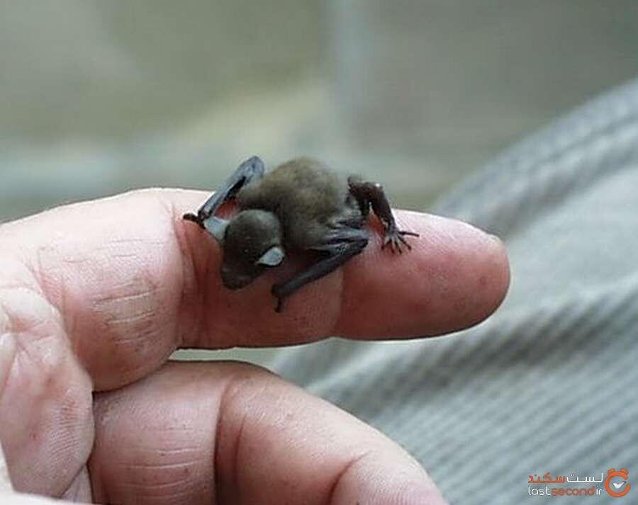 خفاش زنبوری