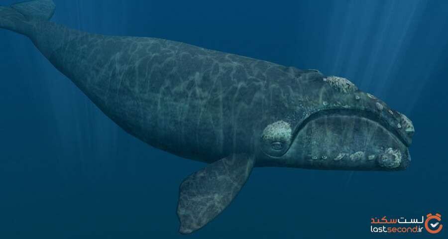 نهنگ شکار اطلس شمالی
