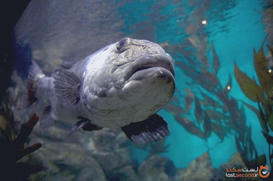 ماهی خاردار غولپیکر