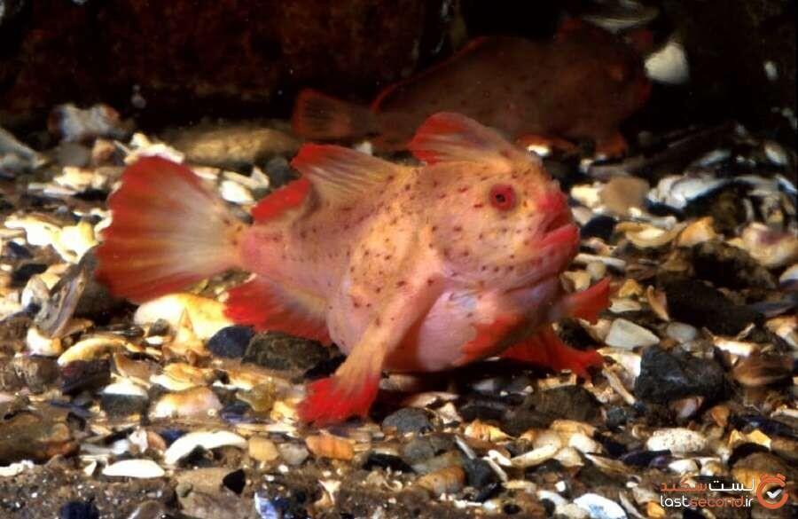 دست ماهی سرخ