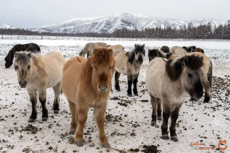اسبهای اویمیاکن