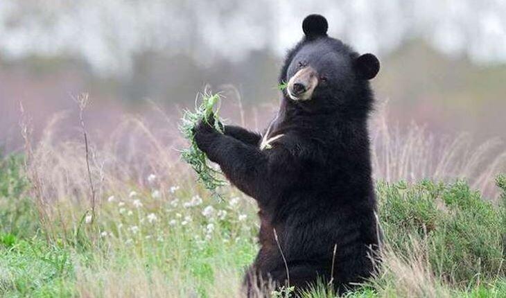 شکوهی به نام خرس سیاه آسیایی (خرس ایرانی)
