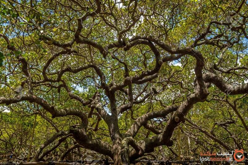 درخت کاشو