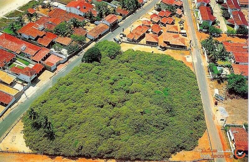 بزرگ ترین درخت برزیل که شبیه به یک جنگل است