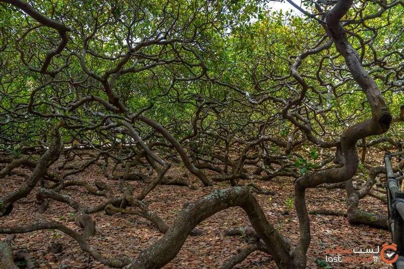 Cashew single Tree.jpg