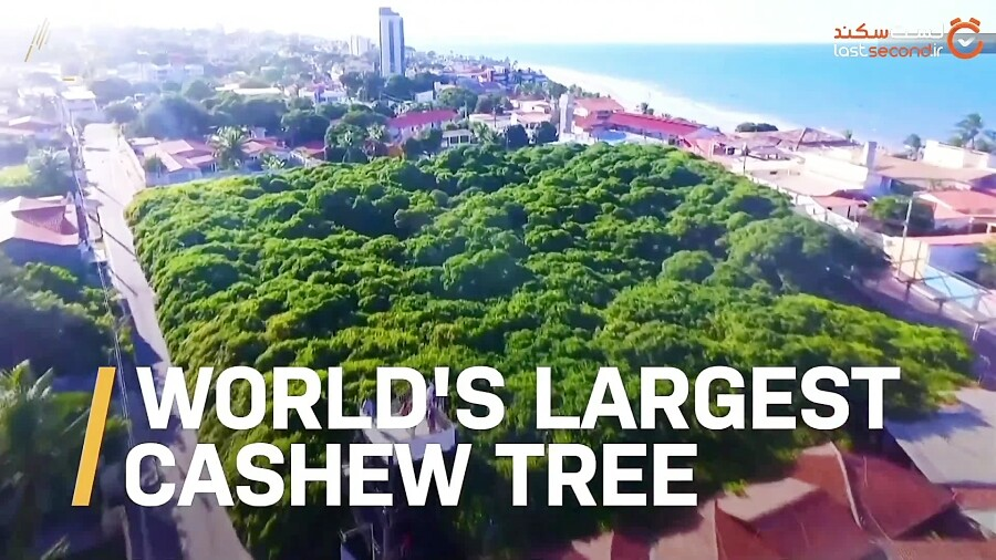 بزرگترین درخت بادام هندی جهان، به وسعت یک جنگل