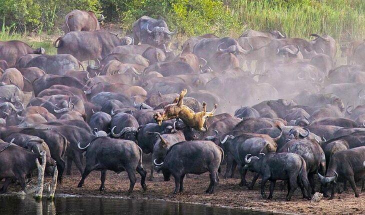 قتل وحشیانه 1 قلاده شیرِ ماده توسط 100 راس بوفالو  در آفریقا