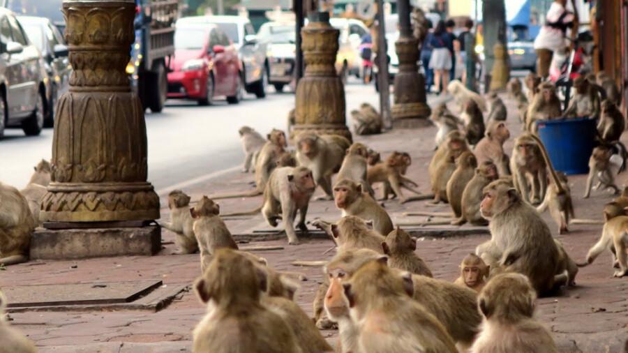 هزاران میمون به شهر لوپبوری در تایلند حمله کردند!