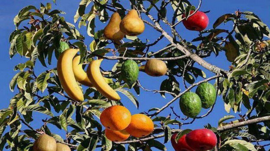 درختی که 40 نوع میوه می دهد!
