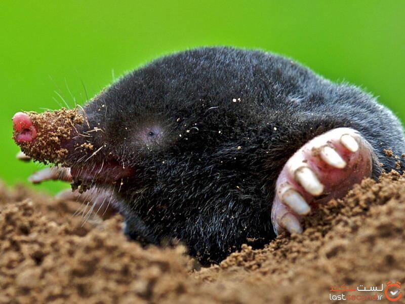 موش کور