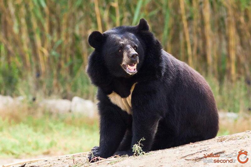 خرس ایرانی