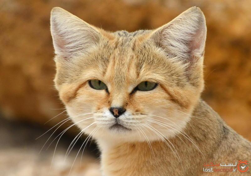 گربه های شنی