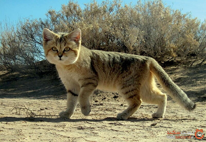 گربه شنی