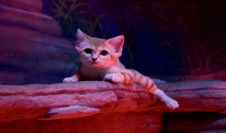 معرفی گربه شنی؛ تنها گربه ای که در بیابان ها زندگی میکند