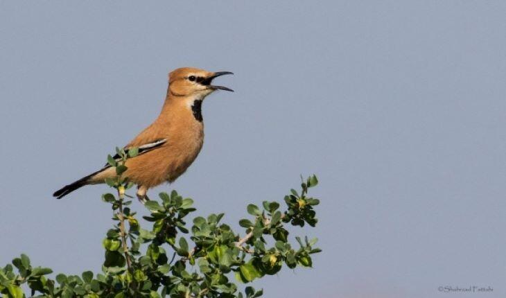 با زاغ بور؛ پرنده بومی و جواهر کویر ایران آشنا شوید