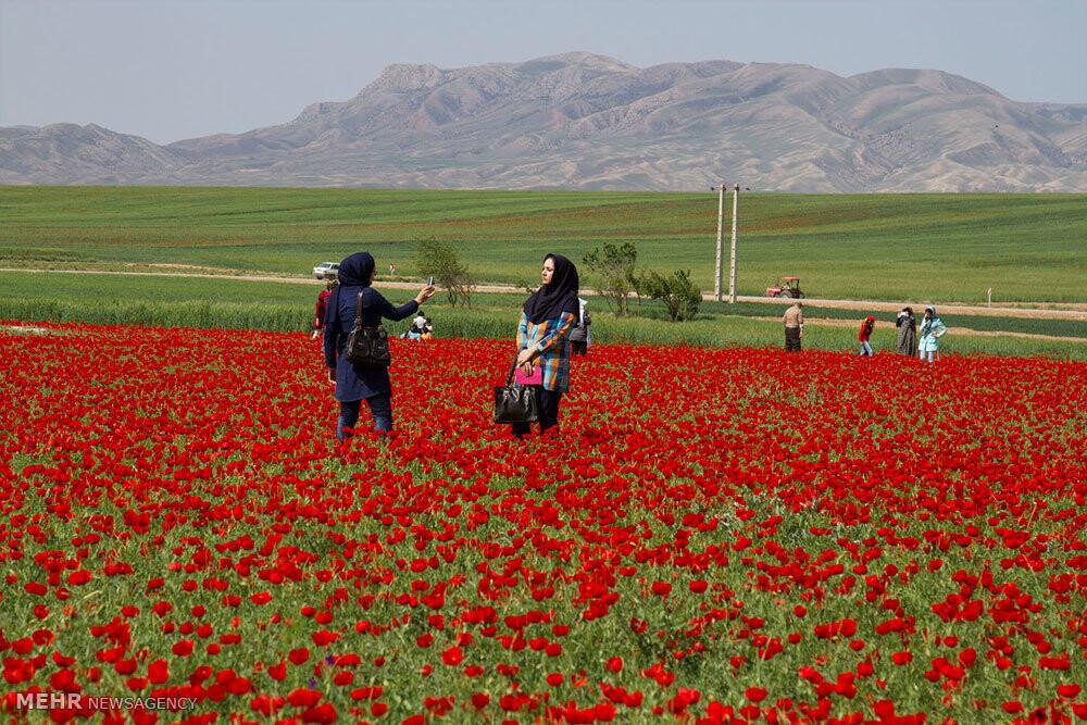 دشتهای گل معروف در ایران؛ از نرگس زار تا سوسن چلچراغ